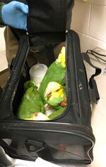 This Dec. 30, 2019, photo taken by a U.S. Customs and Border Protection agent and released by the U.S. Attorney's Office shows a few of seven parrots allegedly smuggled into the United States at Derby Line, Vt. Jafet Rodriguez, of Pennsylvania, was arrested and is due in federal court Thursday, Feb. 13, 2020, in Burlington, Vt., to face charges he smuggled seven parrots into the United States by carrying them across the Quebec-Vermont border at Derby Line. (U.S. Attorney's Office via AP)