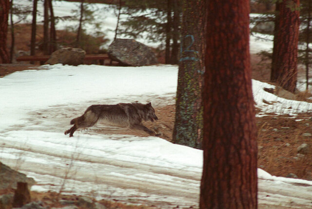 FILE - In this Jan. 14, 1995, file photo, a wolf leaps across a road into the wilds of Central Idaho. State wildlife officials are requesting authorization to spend $408,000 to count wolves that will become part of an annual expense going forward. Idaho Department of Fish and Game Director Ed Schriever told the Legislature's budget-setting committee Tuesday, Jan. 28, 2020, that knowing whether wolf numbers are increasing or decreasing is needed to make management decisions. (AP Photo/Douglas Pizac, File)