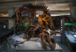 A Tyrannosaurus rex skeleton is seen on display biting a Triceratops during the Smithsonian's National Museum of Natural History's