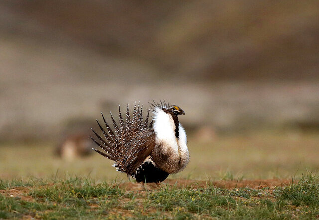 FILE - In this April 22, 2015, file photo, a male sage grouse struts in the early morning hours outside Baggs, Wyo. Two environmental groups concerned the Trump administration won't defend an Obama administration-era policy on sage grouse protections are seeking to intervene in a lawsuit filed by Idaho ranchers. The National Audubon Society and The Wilderness Society on Friday, Dec. 20, 2019, filed documents in U.S. District Court. The initial lawsuit was filed in 2018 by Oakley-based brothers Douglas, Don and David Pickett. Idaho intervened on the ranchers' side a few months later. The lawsuit alleges the U.S. Bureau of Land Management and U.S. Forest Service failed to submit the rules to Congress for review.(Dan Cepeda /The Casper Star-Tribune via AP, File)
