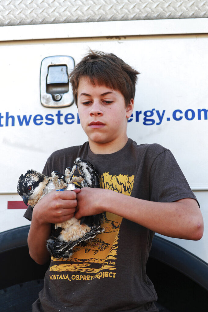Geffen Guscio, 13, a volunteer with the Montana Osprey Project, cradles an osprey chick as he holds a cotton ball to the vein on the bird's wing after the collection of a blood sample that will help give scientists an idea of the health of the Upper Clark Fork watershed on Thursday, July 8, 2021 in Warm Springs Ponds, Mont. (Meagan Thompson/The Montana Standard via AP)