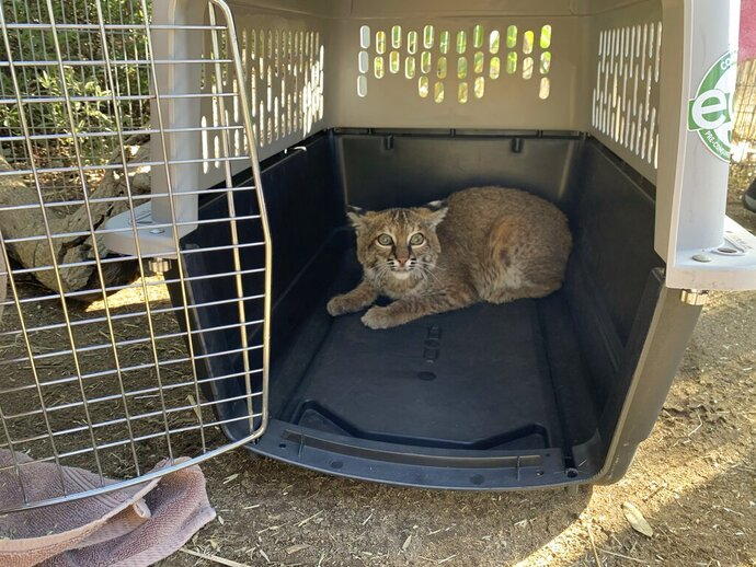 This Nov. 13, 2020 photo provided by the San Diego Humane Society shows a young bobcat at the San Diego Humane Society's Ramona Wildlife Center in Ramona, Calif. The young bobcat that was badly burned in a Southern California wildfire has been returned to its native habitat and will be released back into the wild. The San Diego Humane Society says the 7- to 9-month-old female was picked up on Tuesday, Dec. 1, 2020 from Ramona Wildlife Center and taken to an area near the site of the El Dorado Fire that has abundant food and water sources.(San Diego Humane Society via AP)