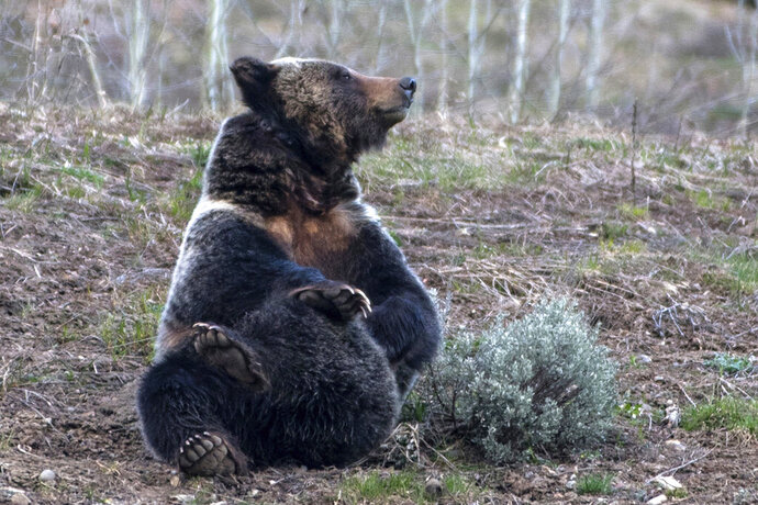 In this May 2020, photo, a grizzly bear 863, known to wildlife watchers as