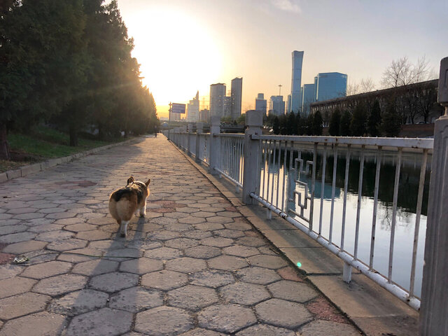 In this April 1, 2020, photo, Sam McNeil's dog runs alongside the water during a walk on a spring morning in Beijing. (AP Photo/Sam McNeil)