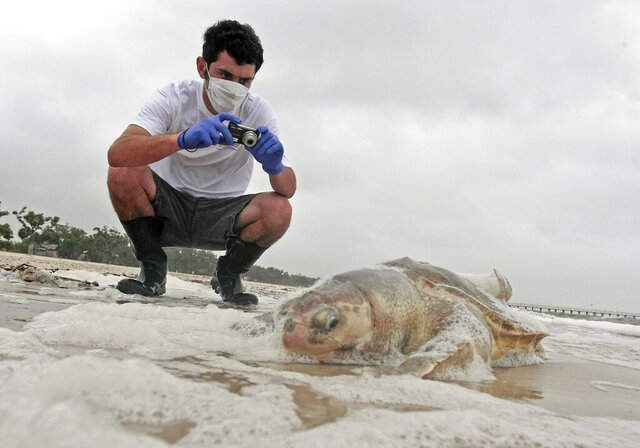 FILE - In this May 2, 2010 photo, Institute of Marine Mammal Sciences researcher Justin Main takes photographs of a dead sea turtle on the beach in Pass Christian, Miss. The National Wildlife Federation released a report Tuesday, April 7, 2020, looking at Gulf restoration after the BP oil spill. The report states serious ongoing harm to dolphins, turtles and other wildlife in the Gulf of Mexico. (AP Photo/Dave Martin, File)