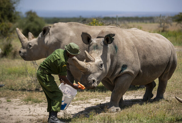 FILE - In this Friday, Aug. 23, 2019 file photo, female northern white rhinos Fatu, 19, right, and Najin, 30, left, the last two northern white rhinos on the planet, are fed some carrots by a ranger in their enclosure at Ol Pejeta Conservancy, Kenya. Researchers said Wednesday, Jan. 15, 2020 that they have successfully created another embryo of the nearly extinct northern white rhino, just the third to be created in a lab with eggs taken from the females and inseminated with frozen sperm from dead males, in a global effort to keep the species alive. (AP Photo/Ben Curtis, File)