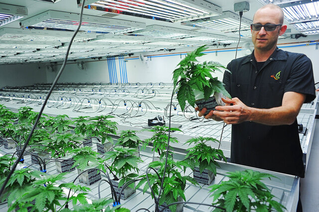FILE - In this Oct. 16, 2015 file photo, Jonathan Hunt, vice president of Monarch America, Inc., shows a marijuana plant while giving a tour of the Flandreau Santee Sioux Tribe's marijuana growing facility, in Flandreau, S.D. Voters in four states could embrace broad legal marijuana sales on Election Day, setting the stage for a watershed year for the industry that could snowball into neighboring states as well as reshape policy on Capitol Hill. The Nov. 3, 2020, contests will take place in markedly different regions of the country, New Jersey, Arizona, South Dakota and Montana and approval of the proposals would highlight how public acceptance of cannabis is cutting across geography, demographics and the nation's deep political divide. (Joe Ahlquist/The Argus Leader via AP, File)