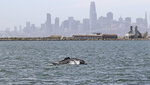 This June 5, 2019, photo provided by the Marine Mammal Center shows a humpback whale in Alameda, Calif. The humpback whale has become an unusual presence in San Francisco Bay. The San Francisco Chronicle reported Friday, June 14, that the humpback has remained in the waters near Alameda for more than two weeks. The Marine Mammal Center asks the public not to approach the whale. (Bill Keener/Marine Mammal Center via AP)