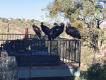 California condors rest on Cinda Mickols porch as a flock of the rare, endangered birds took over her deck over the weekend in Tehachapi, Calif. About 15 to 20 of the giant endangered birds have recently taken a liking to the house in Tehachapi and have made quite a mess.(Cinda Mickols via AP)