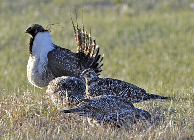 FILE - This March 1, 2010 file photo from the U.S. Fish and Wildlife Service shows a bi-state sage grouse, rear, as he struts for a female at a lek, or mating ground, near Bridgeport, Calif. Citing the government's repeated reversals and refusals to protect a cousin of the greater sage grouse the last two decades, conservationists are suing again to try to force the federal listing of the bi-state sage grouse along the California-Nevada line. The Western Watersheds Project, WildEarth Guardians and Center for Biological Diversity filed a lawsuit in U.S. District Court in San Francisco last week against the U.S. Fish and Wildlife Service. It's the latest move in a legal and regulatory battle that dates to the first petition to list the bird in 2001 under the U.S. Endangered Species Act. (Jeannie Stafford/U.S. Fish and Wildlife Service via AP, File)