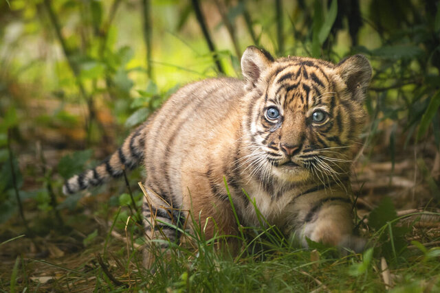 In this undated handout photo provided by the Wroclaw zoo, a little tiger is pictured at the zoo in Wroclaw, Poland. The 2-month-old Sumatran tiger cub is getting to know the world and learning to hunt from her mother at a zoo in southwestern Poland, the first such cub born there in 20 years. The as-yet-unnamed cub was born May 23 as her mother Nuri's first offspring and the authorities at the Wroclaw Zoo are overjoyed that the mother is taking very good care of her. (Wroclaw Zoo via AP)
