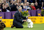 Handler Bill McFadden reacts as Flynn, a bichon frise, is named best in show at the 142nd Westminster Kennel Club Dog Show, Tuesday, Feb. 13, 2018, at Madison Square Garden in New York. (AP Photo/Craig Ruttle)