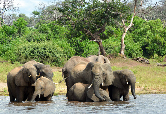 FILE - In this March 3, 2013 file photo, elephants drink from the Chobe National Park in Botswana. The sudden deaths of some 330 elephants in the northern part of the country earlier this year may have occurred because they drank water contaminated by toxic blue-green algae, the government announced Monday, Sept. 21, 2020. (AP Photo/Charmaine Noronha, File)