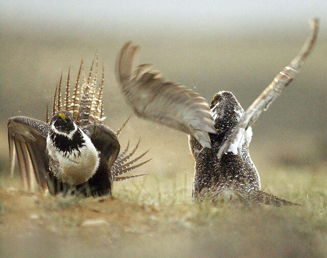 FILE - In this May 9, 2008, file photo, male sage grouses fight for the attention of females southwest of Rawlins, Wyo. A federal judge has cancelled more than $125 million worth of oil and gas leases that were sold on public lands inhabited by the declining bird species greater sage grouse. The ruling Thursday, Feb. 27, 2020, said the Trump administration illegally curtailed public comment on the sales. (Jerret Raffety/The Rawlins Daily Times via AP, File)