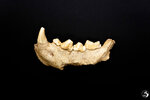 """This image released by the Italian Culture Ministry shows a fossil jaw  that were discovered  in a cave near Rome, shedding new light on how the Italian peninsula was populated and under what environmental conditions. The Italian Culture Ministry announced the discovery Saturday, May 8, 2021, saying it confirmed that the Guattari Cave in San Felice Circeo, where a Neanderthal skull was discovered in 1939, was """"one of the most significant places in the world for the history of Neanderthals."""" (Emanuele Antonio Minerva/Italian Culture Ministry via AP)"""