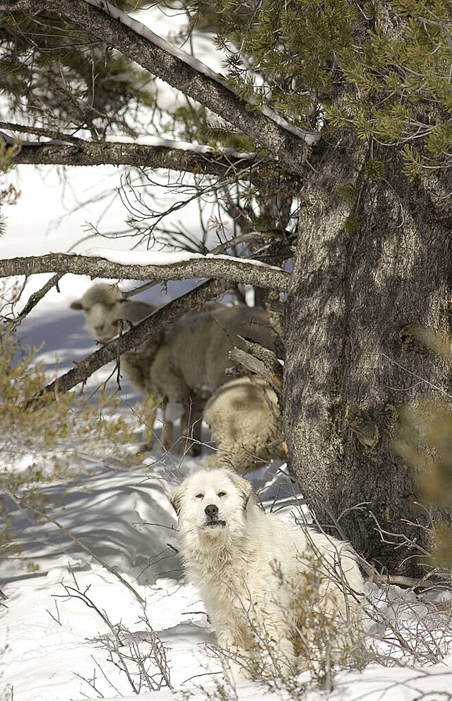 "In this 2004 photo, a Great Pyrenees sheepdog along with three straggler sheep gather under a tree in Logan Canyon, Utah. Seventeen years after the Great Pyrenees sheepdog was rescued after faithfully guarding three stranded sheep in Logan Canyon, the man who brought the public's attention to the plight is telling his full story. Jim Stone, a longtime Bear Lake guide and business owner, has teamed up with friend Karen Stone to write ""The Legend of Big Boy: Safe or Stranded."