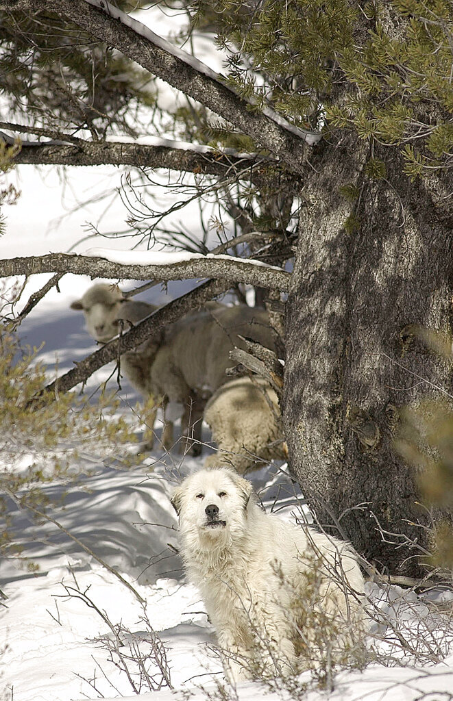 """In this 2004 photo, a Great Pyrenees sheepdog along with three straggler sheep gather under a tree in Logan Canyon, Utah. Seventeen years after the Great Pyrenees sheepdog was rescued after faithfully guarding three stranded sheep in Logan Canyon, the man who brought the public's attention to the plight is telling his full story. Jim Stone, a longtime Bear Lake guide and business owner, has teamed up with friend Karen Stone to write """"The Legend of Big Boy: Safe or Stranded."""