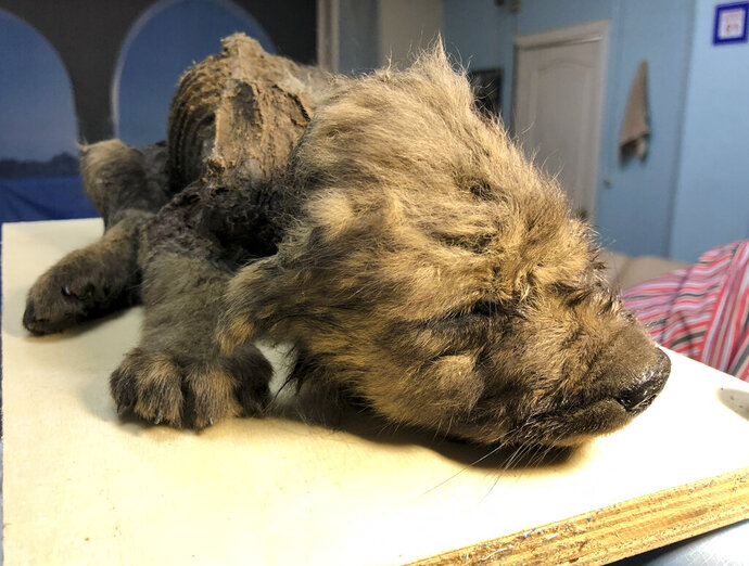 This is a handout photo taken on Monday, Sept. 24, 2018, showing a 18,000 years old Puppy found in permafrost in the Russia's Far East, on display  at the Yakutsk's Mammoth Museum, Russia. Russian scientists have presented a unique prehistoric canine, believed to be 18,000 years old and found in permafrost in the Russia's Far East, to the public on Monday, Dec. 2, 2019. (Sergei Fyodorov, Yakutsk Mammoth Museum via AP)