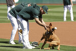 Oakland Athletics center fielder Ramon Laureano plays with grounds crew dog Reba during baseball practice in Oakland, Calif., Tuesday, Oct. 1, 2019. The Athletics are scheduled to face the Tampa Bay Rays in an American League wild-card game Wednesday, Oct. 2. (AP Photo/Jeff Chiu)