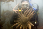 In this undated photo, provided by Scott Groth, Groth, a diver, holds a sunflower sea star in waters off the Oregon coast near Port Orford, Ore., before the invasion of purple sea urchins. The sunflower sea star is the primary predator of the purple sea urchin and urchin numbers exploded when a mysterious wasting disease killed off millions of the sea stars beginning in 2013. Tens of millions of voracious purple sea urchins that have already chomped their way through towering underwater kelp forests in California are now spreading north to Oregon, sending the delicate marine ecosystem off the shore into such disarray that other critical species are starving to death.  (Scott Groth via AP)