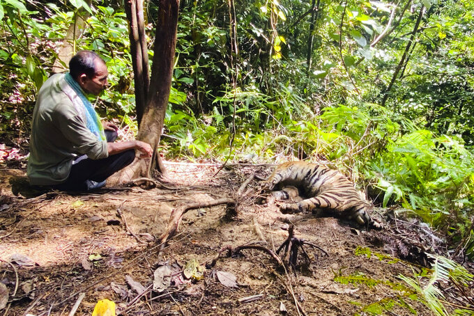 A conservationist inspects the carcass of one of three Sumatran tigers found dead in Ie Buboh village in South Aceh, Indonesia, Thursday, Aug. 26, 2021. A critically endangered Sumatran tiger and its two cubs were found dead in a conservation area on Sumatra island after being caught in boar traps, in the latest setback to a species whose numbers are estimate to have dwindled to about 400 individuals, authorities said Friday, Aug. 27, 2021. (AP Photo/Tuah Albanna)