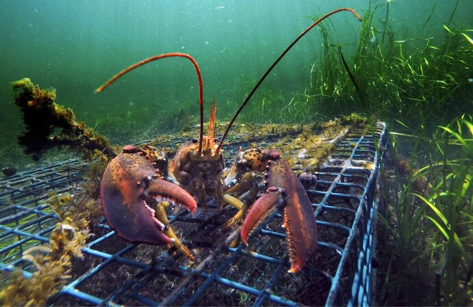 FILE - In this Sept. 5, 2018 file photo, a lobster walks over the top of a lobster trap off the coast of Biddeford, Maine. A pair of studies published in 2019 by University of Maine scientists suggest the U.S. lobster industry is headed for a period of decline, but likely not a crash. (AP Photo/Robert F. Bukaty, File)