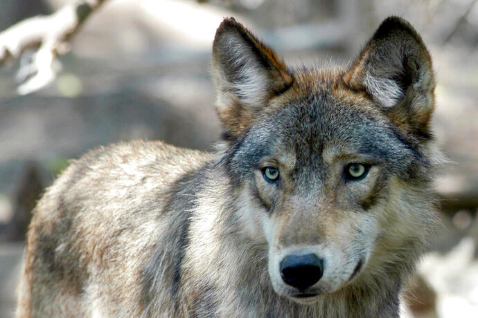 FILE - This July 16, 2004, file photo, shows a gray wolf at the Wildlife Science Center in Forest Lake, Minn. Wildlife activists want Colorado voters to decide whether the endangered gray wolf should be reintroduced decades after it disappeared from the state. Backers of a voter initiative delivered thousands of signatures on Tuesday, Dec. 10, 2019, in hopes of getting the proposal on the 2020 ballot. (AP Photo/Dawn Villella, File)