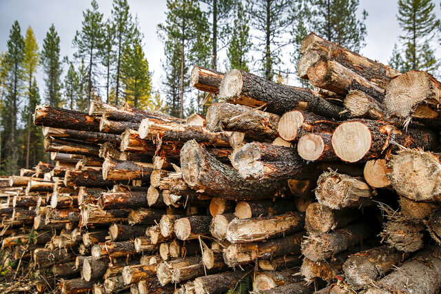 A timber harvest operation is seen southeast of Martin City, Mont. near the Hungry Horse Reservoir on Oct. 17, 2019. Prices for logs used in timber are reaching record levels amid the pandemic. (Hunter D'Antuono/Flathead Beacon via AP)