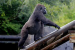 Tumani, a 13-year old critically endangered western lowland gorilla that is expecting to give birth later this summer, looks for food in her enclosure at the Audubon Nature Institute in New Orleans, Monday, July 6, 2020. If the pregnancy is successful, it will be the first gorilla born at the zoo since 1996. (AP Photo/Gerald Herbert)