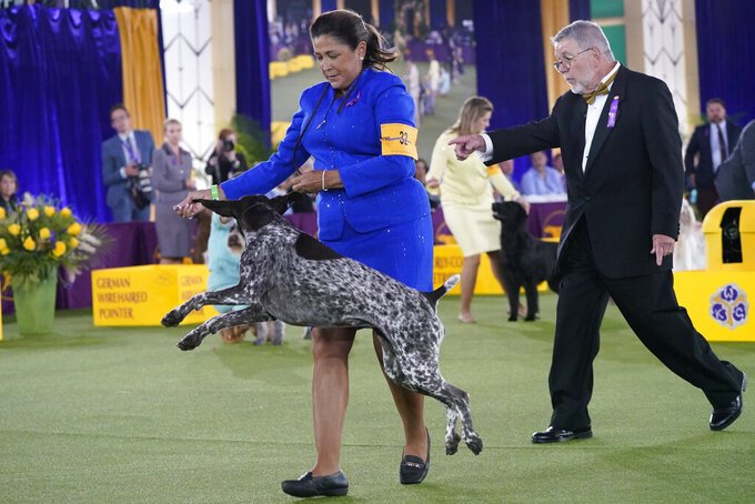 A handler gives her German short-haired pointer a treat after winning the Sporting category at the Westminster Kennel Club dog show, Sunday, June 13, 2021, in Tarrytown, N.Y. (AP Photo/Kathy Willens)
