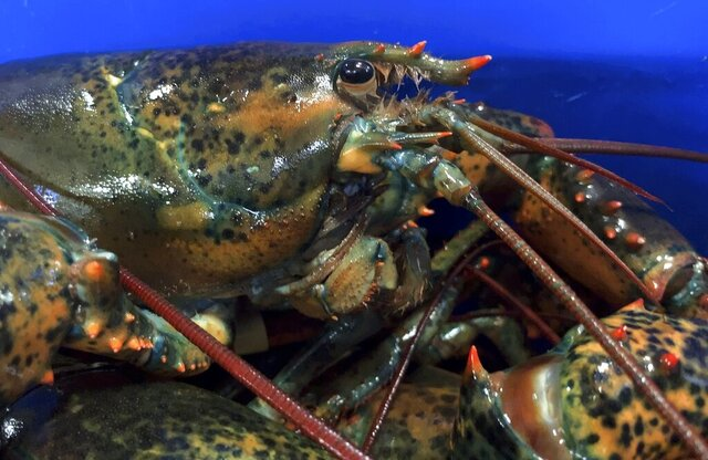 FILE - This May 8, 2019, file photo shows a lobster atop others in Arundel, Maine.  Maine's congressional delegation announced Tuesday, Feb. 25, 2020, that China is making U.S. lobster eligible for a tariff reduction. Starting the following week, Chinese businesses could apply for a tariff exemption that would let them buy U.S. lobster at a lower price, officials said. ( AP Photo/Rodrique Ngowi, File)