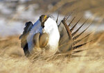 FILE - In this April 15, 2008, file photo, a male sage grouse performs his