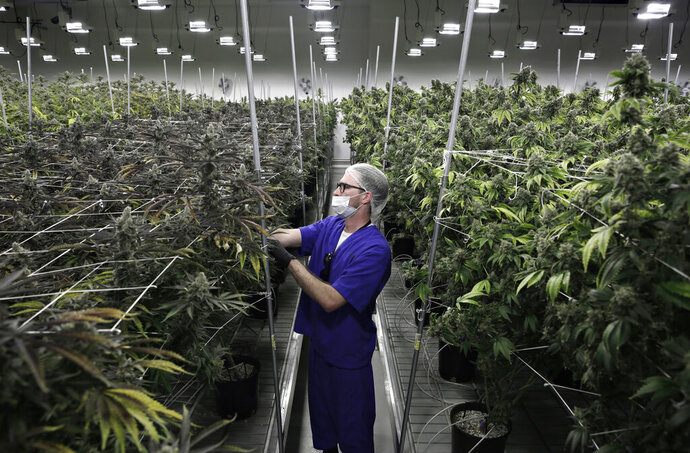 FILE - In this June 28, 2017 photo, Alessandro Cesario, the director of cultivation, works with marijuana plants at the Desert Grown Farms cultivation facility in Las Vegas. Nevada is set to pioneer a law to prevent job-seekers from being immediately rejected for work based on a positive marijuana test. (AP Photo/John Locher, File)