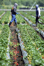 In this photo taken Monday, May 20, 2019, rain-ruined strawberries lay on the ground in a field in Watsonville, Calif. Field workers throughout the Pajaro Valley are picking ripe berries and throwing them on the ground since they become moldy with the rains. Winter is long past but wet weather continues to roll through California, and it's beginning to become a problem for crops ranging from wine grapes to strawberries. (Dan Coyro/Santa Cruz Sentinel via AP)