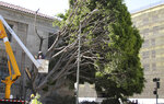 This July 11, 2019, photo released by International Bird Rescue shows workers trimming trees to remove nests containing birds and eggs in Oakland, Calif. The animal rescue group is asking for help caring for baby snowy egrets and black-crowned night herons left homeless last week after a tree fell in downtown Oakland. (International Bird Rescue via AP)