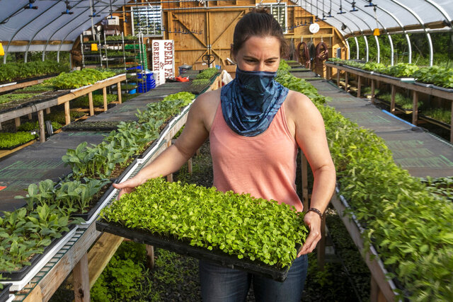 In this Thursday, May 28, 2020 photo Jamien Richardson moves a tray of baby arugula in a crop house at Spear Spring Farm in Warren, Maine. Spear Spring is one of many farms that have seen an uptick in the number community supported agriculture shares sold to customers, most likely as a result to the coronavirus pandemic. (AP Photo/Robert F. Bukaty)