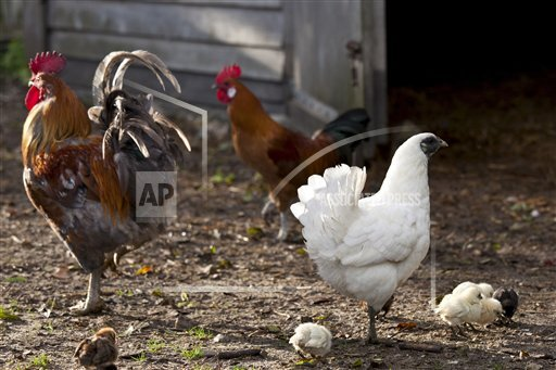Creative Robert Harding Productions /AP Images A  Normandy France 1161-7218 Chicken family hen, cockerel and chicks at Ferme de l'Eglise, Houesville, Normandy, France