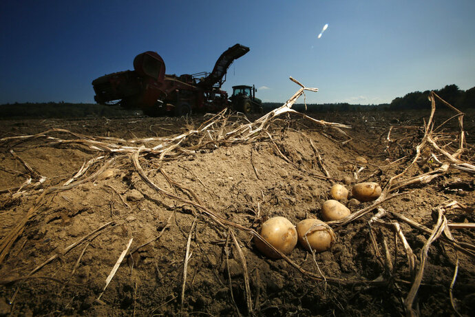 FILE - In this Sept. 27, 2017, file photo potatoes await harvesting at Green Thumb Farms in Fryeburg, Maine. The marketing organization for commercial potato growers in the United States says potato exports fell in all categories in July 2018, compared to the same month a year ago. (AP Photo/Robert F. Bukaty, File)