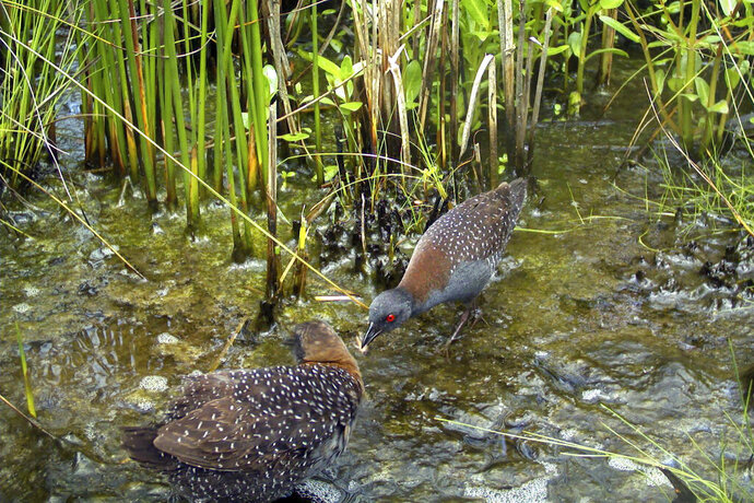 In this June 2017 photo taken in the ACE Basin region of South Carolina and provided by the South Carolina Department of Natural Resources, a male black rail offers an insect to a female as part of their courtship behaviors. The U.S. Fish and Wildlife Service declared the Eastern black rail a threatened species on Wednesday, Oct. 7, 2020, but stopped short of the stronger protections some environmentalists were seeking for the elusive bird now imperiled by habitat destruction, sea level rise, and the increasing frequency and intensity of storms with climate change.  (Christy Hand/South Carolina Department of Natural Resources via AP)