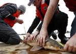 In this Thursday, April 25, 2019 photo, an endangered shortnose sturgeon is measured by Hannah Verkamp, left, a student at the University of New England, in Biddeford, Maine. Sturgeon were America's vanishing dinosaurs, armor-plated beasts that crowded the nation's rivers until mankind's craving for caviar pushed them to the edge of extinction. (AP Photo/Robert F. Bukaty)