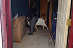 In this Friday, Oct. 4, 2019 photo, Ashland County sheriff's deputies wrangle up a goat found in a home in Sullivan Township, Ohio. The goat named