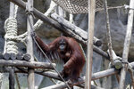 """In this Sept. 16, 2019 photo, the orangutan Sandra looks out from her enclosure at the former city zoo now known as Eco Parque, in Buenos Aires, Argentina. In 2015 Argentine judge Elena Liberatori ruled that Sandra was legally not an animal but a """"non-human person,"""" turning the orangutan who has only known limited concrete enclosures into the focus of world attention. (AP Photo/Natacha Pisarenko)"""