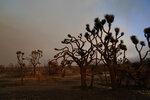 Joshua trees are left burned Saturday, Sept. 19, 2020, after the Bobcat Fire passed through in Juniper Hills, Calif. (AP Photo/Marcio Jose Sanchez)
