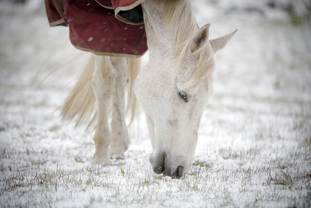 A horse grazes on new grass poking through the snow at Wedgewood Stables in Lanesborough, Mass., after a cold and snowy night on Saturday, May 9, 2020. Mother's Day weekend got off to an unseasonably snowy start in areas of the Northeast thanks to the polar vortex. While Manhattan, Boston and many other coastal areas received only a few flakes, some higher elevation areas in northern New York and New England reported 9 inches or more. (Stephanie Zollshan/The Berkshire Eagle via AP)