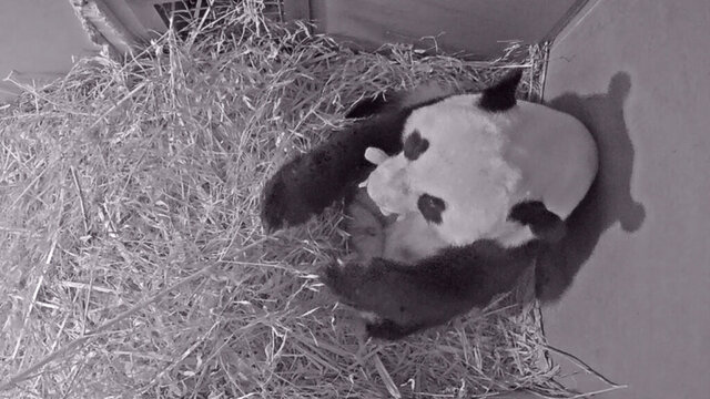 In this Friday, May 1, 2020 grab taken from webcam footage, provided by Ouwehands Zoo, giant panda Wu Wen holds her newly born cub, at Ouwehands Zoo, in Rhenen, Netherlands,  A giant panda loaned by China to a Dutch zoo as part of a breeding pair has given birth to a cub, the zoo announced Saturday, May 2, 2020. The mother, Wu Wen, and her cub