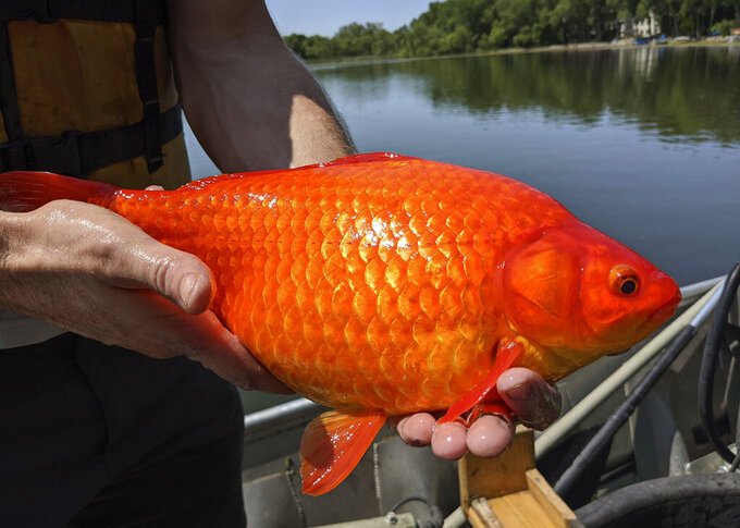 In this image provided by the City of Burnsville, Minn., a large goldfish caught in Keller Lake during a water quality survey is held, Friday, July 2, 2021. Officials in Minnesota say they're finding more giant goldfish in waterways, prompting a plea to citizens to stop illegally dumping their unwanted fish into ponds and lakes. The goldfish, which can grow to the size of a football, compete with native species for food and increase algae in lakes. (City of Burnsville via AP)