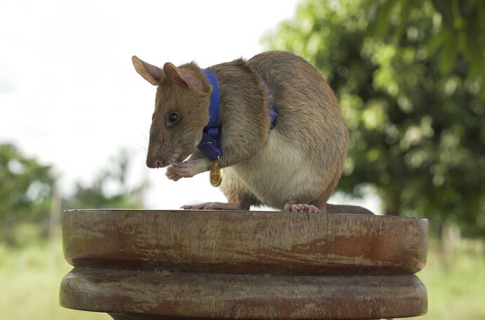 In this undated photo issued by the PDSA, People's Dispensary for Sick Animals,  Cambodian landmine detection rat, Magawa is photographed wearing his PDSA Gold Medal, the animal equivalent of the George Cross, in Siem, Cambodia. A British animal charity has on Friday, Sept. 25, 2020, for the first time awarded its top civilian honor to a rat, recognizing the rodent for his