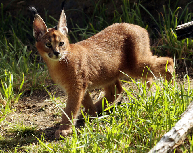 FILE - In this Sept. 1, 2011 file photo, a male caracal cat native to Africa explores his new habitat at the Oregon Zoo in Portland, Ore. A caracal cat is on the loose in a suburb north of Detroit after escaping from its owner. The caracal was reported missing around 6:30 a.m. Wednesday, Oct. 13, 2021 in Royal Oak, Mich., authorities said. (AP Photo/Don Ryan File)