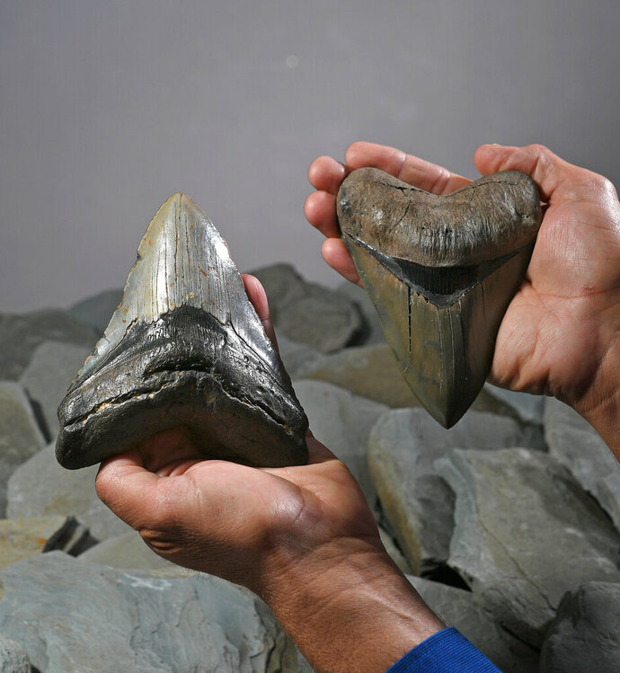 Bill Eberlein shows off a megalodon tooth, at left, and a mastodon molar, that he found while diving in the ocean and estuaries off Richmond Hill, Ga., near where he lives. A megalodon was a now-extinct giant prehistoric shark that lived more than two million years ago. A mastodon was a now-extinct mammal related to the elephant that lived about 10,000 years ago. Eberlein, 54, an Erie, Pa., native, has made a business, called MegaTeeth, out of searching for and selling the fossils. He was photographed in the Erie Times-News studio in Erie on May 14, 2019. (Christopher Millette/Erie Times-News via AP)
