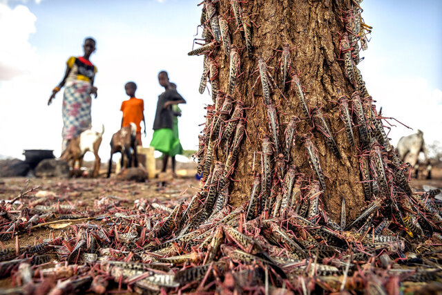 In this photo taken Tuesday, March 31, 2020, desert locusts swarm over a tree in Kipsing, near Oldonyiro, in Isiolo county, Kenya. Weeks before the coronavirus spread through much of the world, parts of Africa were already threatened by another kind of plague, the biggest locust outbreak some countries had seen in 70 years, and now the second wave of the voracious insects, some 20 times the size of the first, is arriving. (Sven Torfinn/FAO via AP) MANDATORY CREDIT